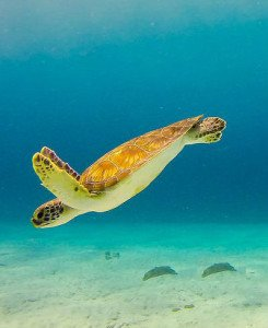 schildpad kaapverdie
